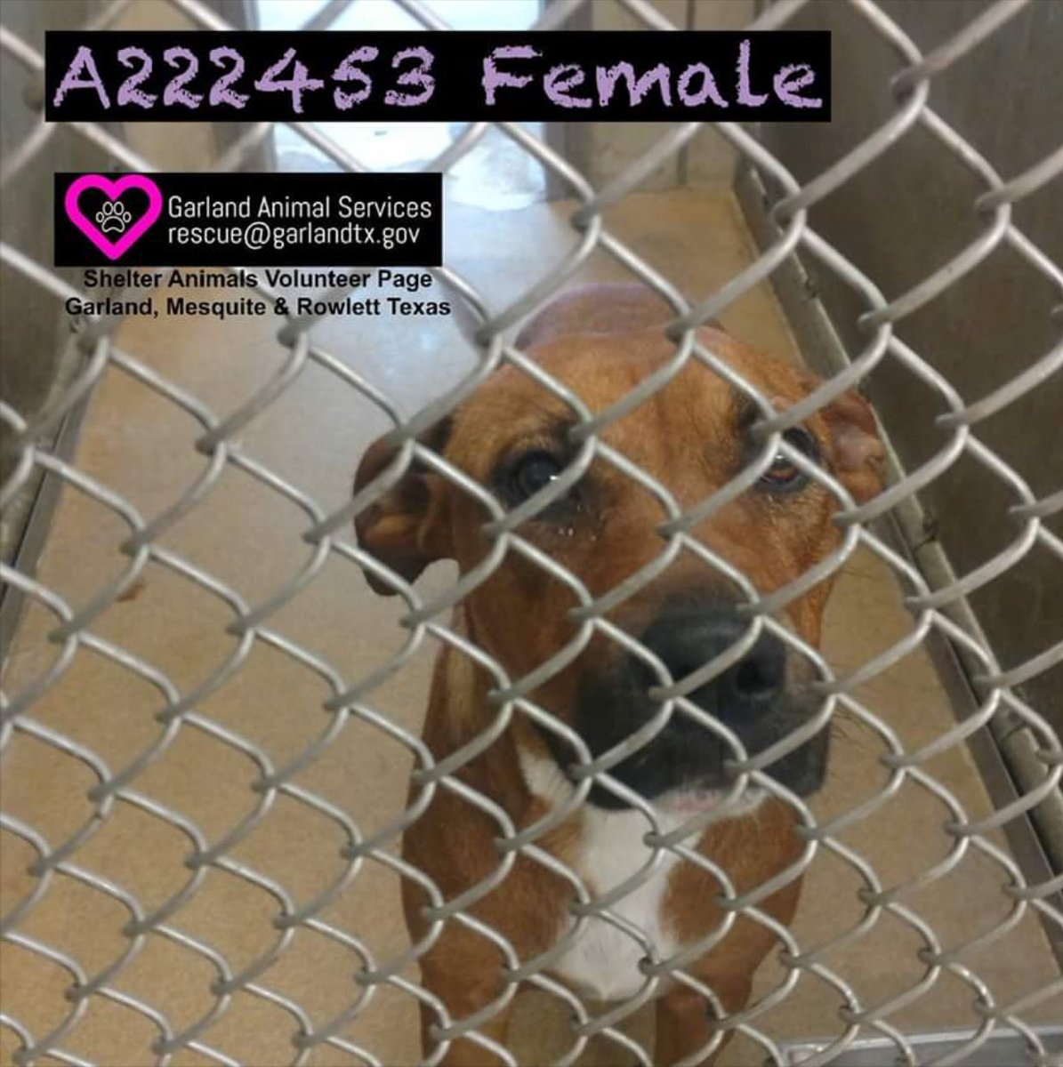 #Garland #TX This #urgent beautiful girl Tawny is going unnoticed. Please help!#rescue #adopt #foster #share #pledge  http:// fb.me/7Yx0AhLzp  &nbsp;  <br>http://pic.twitter.com/YBEmT2A5m7