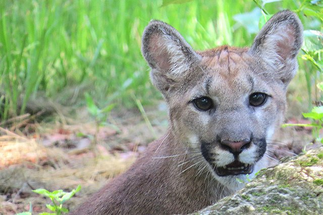 Florida's state animal: #Panthers. DYK these wild #cats are apex predators?