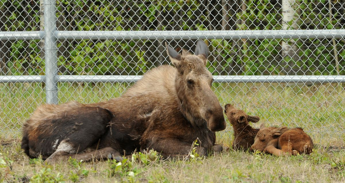 Anchorage police are aware of a mother moose and its two babies. Please stop calling 911. https://t.co/x6NOYbSWA9 https://t.co/dMiUOwYQbh