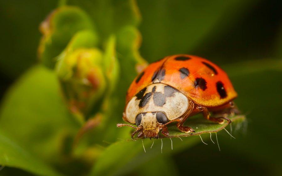 Harlequin Ladybird by Antony  Cooper #macro #макро #beautiful <br>http://pic.twitter.com/jsNFrrFZkt