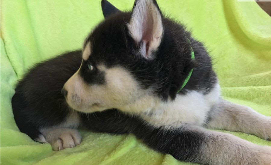 i  have  male and female husky puppies   for adoption if interested please visit our page on  facebook  and buy from  us #pets  #petshop <br>http://pic.twitter.com/ez3MDaxN5j