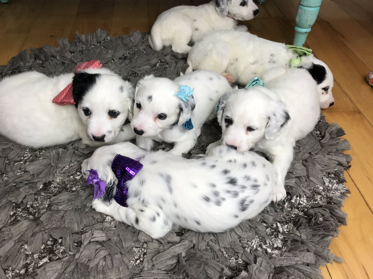 Long Coat Dalmatians On Twitter Banners Litter Is Already 1 Month Old They Are Growing So Fast Longhairdontcare Longhairdalmatian Lcdals Com Longcoatdalmatian Https T Co Rimyhoxemj