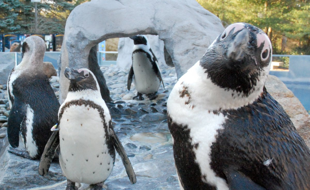 Did we hear there is a #PenguinParty going on @zoos_aquariums? https://t.co/LznfVtwijw