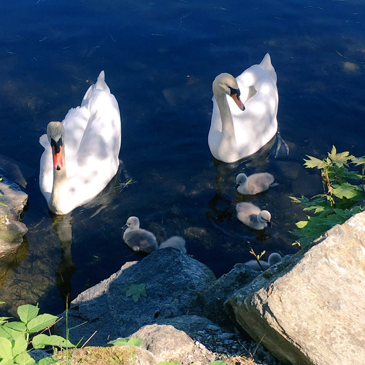 Surprise in the old mill park today, a pair of swans with six fluffballs 😍
