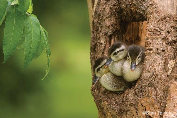 Jump, Little Wood Ducks—The Tale of a Picture Book.  http:// bit.ly/2rqMloG  &nbsp;   #birding #WoodDucks #wildlife<br>http://pic.twitter.com/Mo3Z1idjAM
