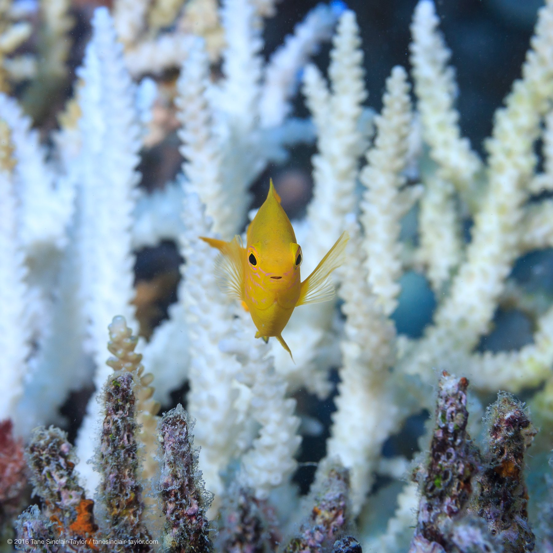 COMING UP we take a close look at coral reefs in the future. More info: https://t.co/7bdNiyH4L0 #CORAL17 #Canberra Pic: Tane Sinclair-Taylor https://t.co/O64la0seya