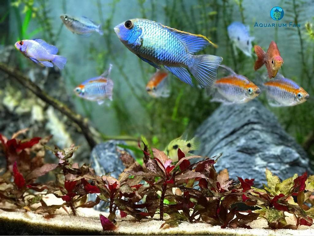 Aquarium Fan On Twitter Portrait Mode On The Iphone Electricblueacara Cichlid Plantedtank Aquascape Aquarium Freshwater Fishofins Https T Co Vj55uunldf Https T Co P3szs1utxh