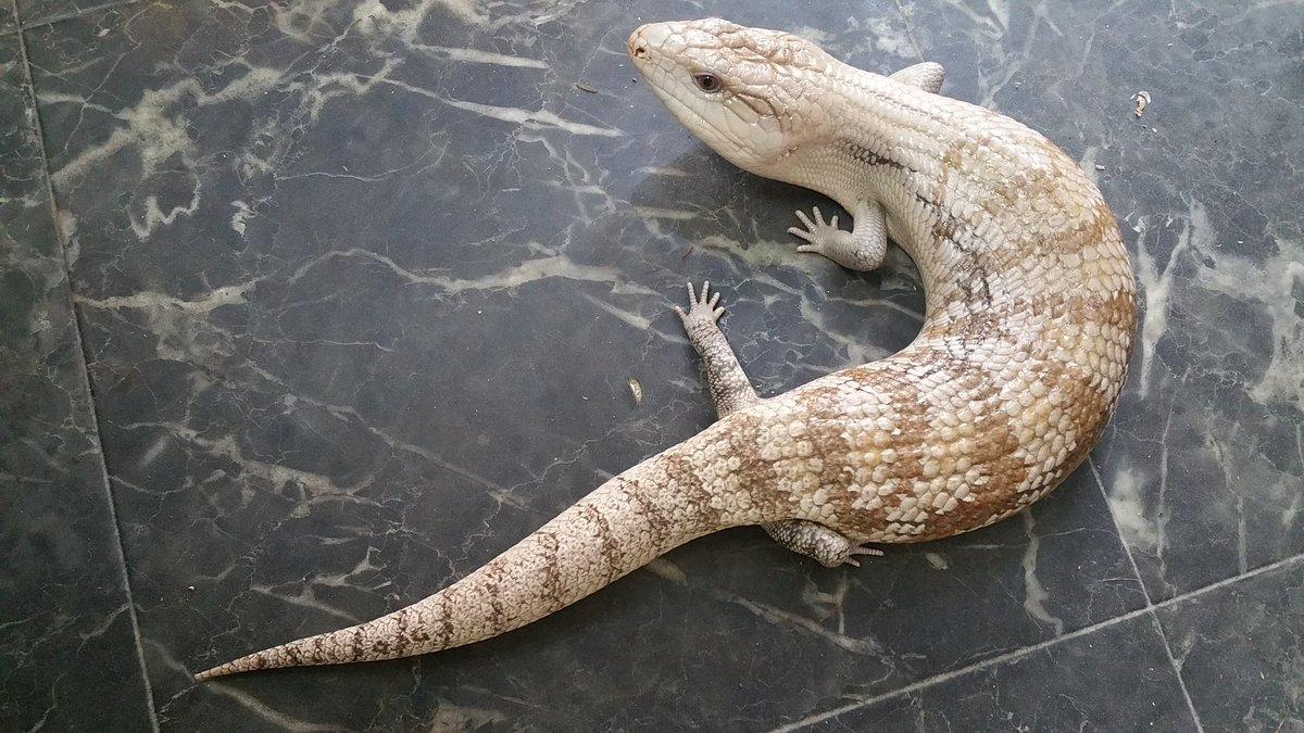 ブラックアウト 爬虫類 値段