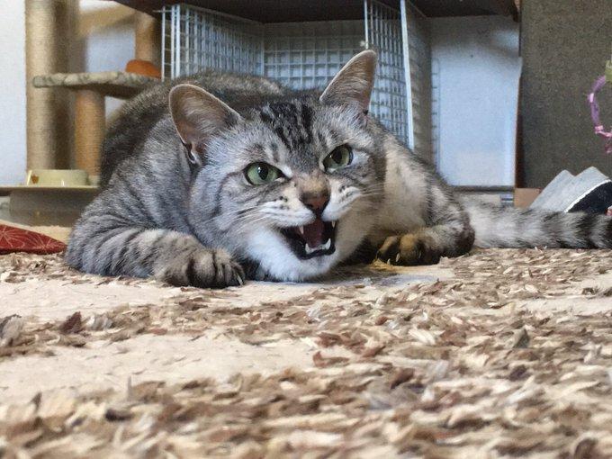 爪むき出しの威嚇する猫