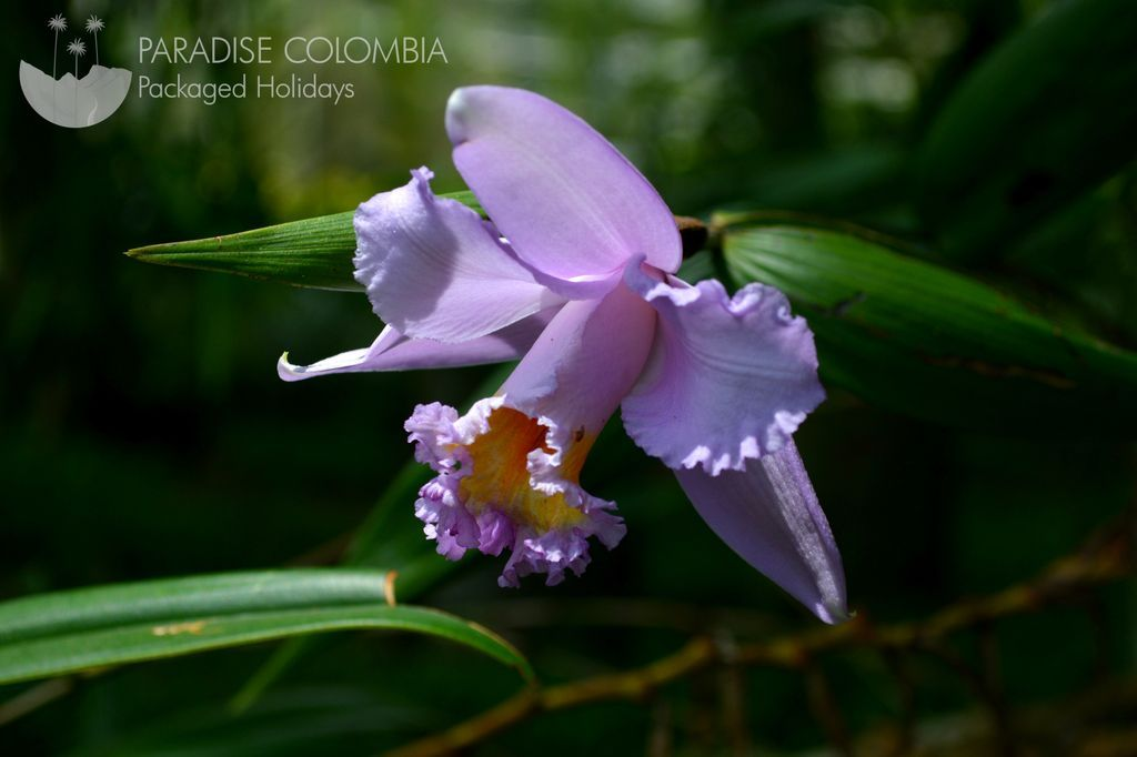 Orchid Cattleya trianae, Colombia&#39;s national flower. @jardinbotanicoquindio #flower #orchid #colombia #paradise<br>http://pic.twitter.com/8fAxXRF5Oo