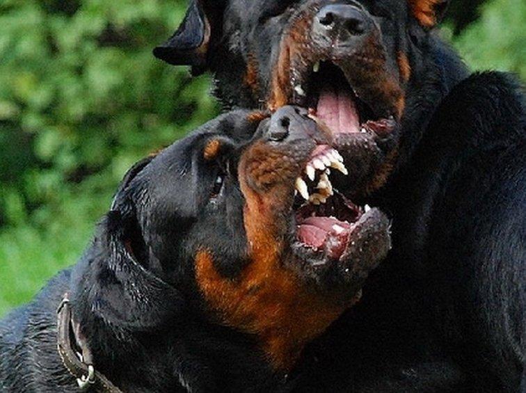 фото собак ротвейлеров в бою несчастью, это подано