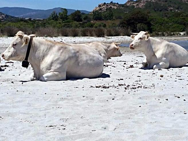 Con il caldo  in Sardegna le mucche vanno in spiaggia https://t.co/kJO1wEOlIO