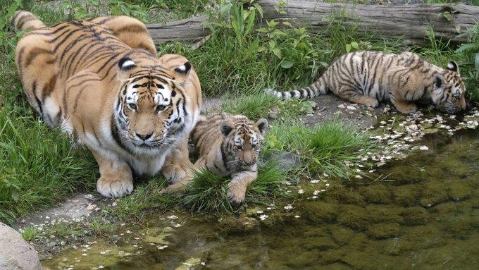 Une gardienne de zoo tuée par un tigre en Grande-Bretagne https://t.co/CRAXT7aDiD