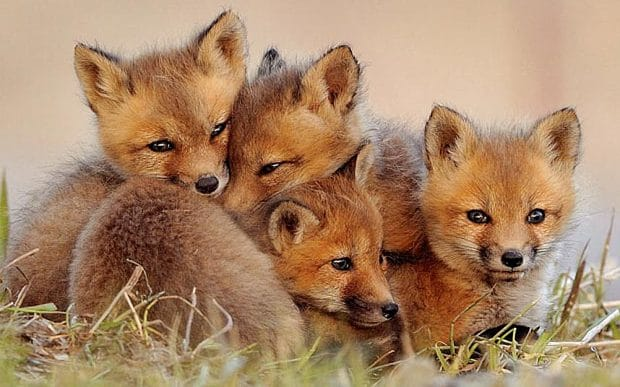 #springwatch If you love foxes don't vote Conservative. Theresa May wants to bring back hunting. https://t.co/kwwXI4Qo3N