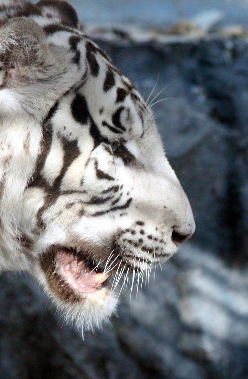 Une gardienne de zoo mortellement attaquée par un tigre https://t.co/GTau6AxeVn