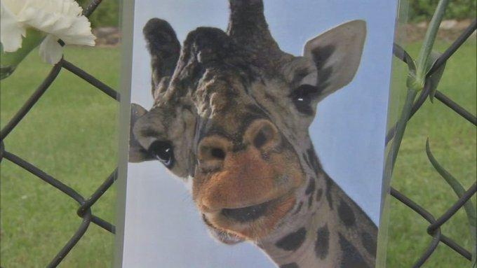 Giraffe dies at Lehigh Valley Zoo after possible neck injury https://t.co/rEjhN8ZeMp