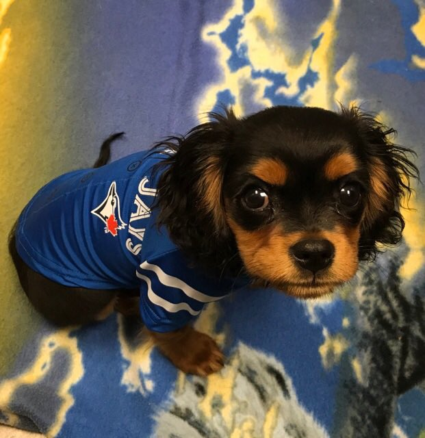 What&#39;s better than a #puppy wearing @BlueJays jersey?  Nothing.  Absolutely nothing  #Charlie <br>http://pic.twitter.com/g9nw05J2FW
