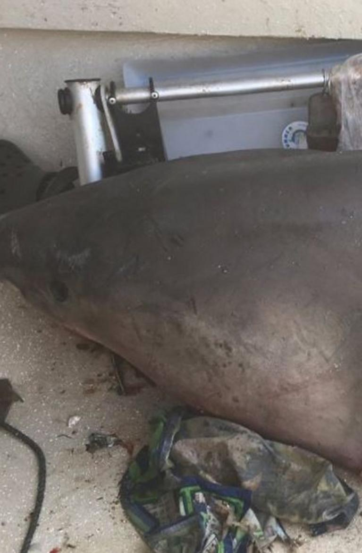 Un pêcheur australien blessé après l'intrusion d'un grand requin blanc sur son bateau https://t.co/EQf0FELHAQ