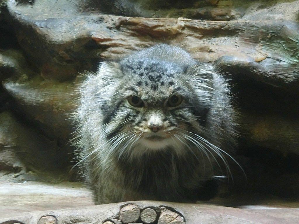 (じ~~~~~っつ)上野動物園開園です。 上野動物園の次世代スターの座を(ネコ科だけに)虎視眈々と狙う マヌルネコが開園をお知らせいたします。 #お後がよろしいようで #上野動物園  #もふもふ
