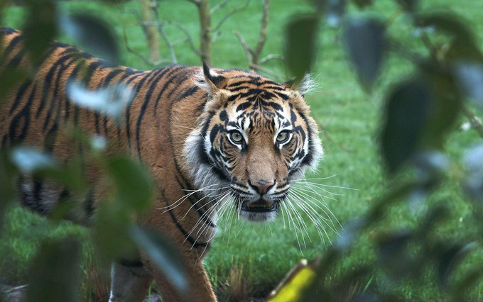 Zookeeper killed in incident involving a tiger at zoo north of London https://t.co/6W4whuS5Pb