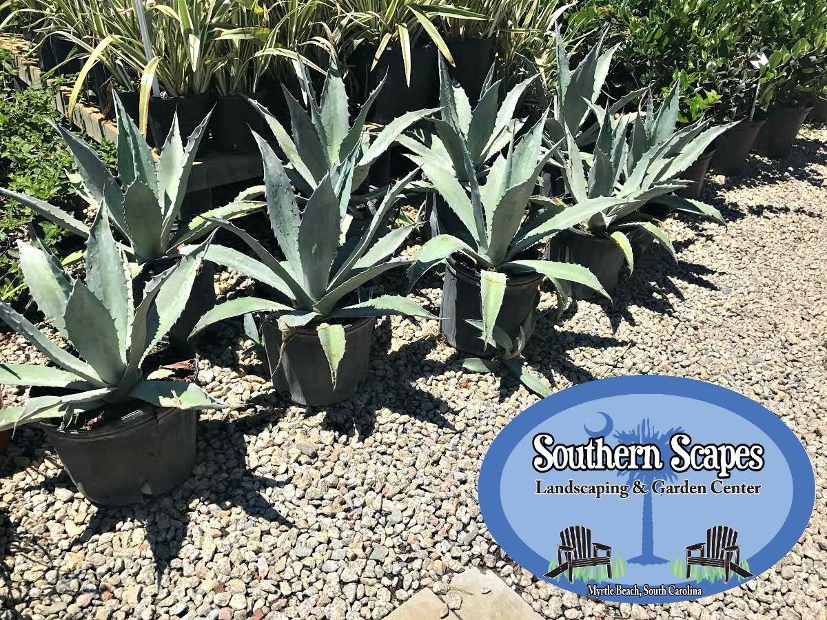 Need To Add Some Color U0026 Texture To Your Landscaping? Come By To See New  Plants We Have In Stock! #Landscaping #MyrtleBeach #GardenCenterpic.twitter.com/  ...