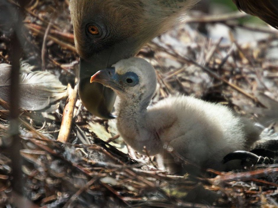 Gay Dutch vulture dads hatch abandoned egg, adopt chick at a zoo in Amsterdam. https://t.co/UfnbjHt343 🏳️‍🌈