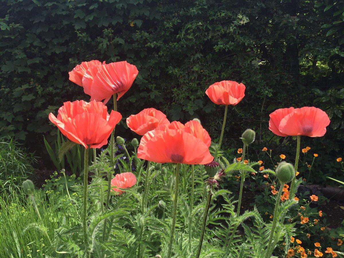 Kathryn Graham On Twitter Beautiful Poppies In The Garden Poppy
