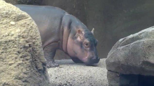 Fiona is bopping around the big pool, watch live here: https://t.co/lgu61kQDlZ https://t.co/TsR0T4npGU