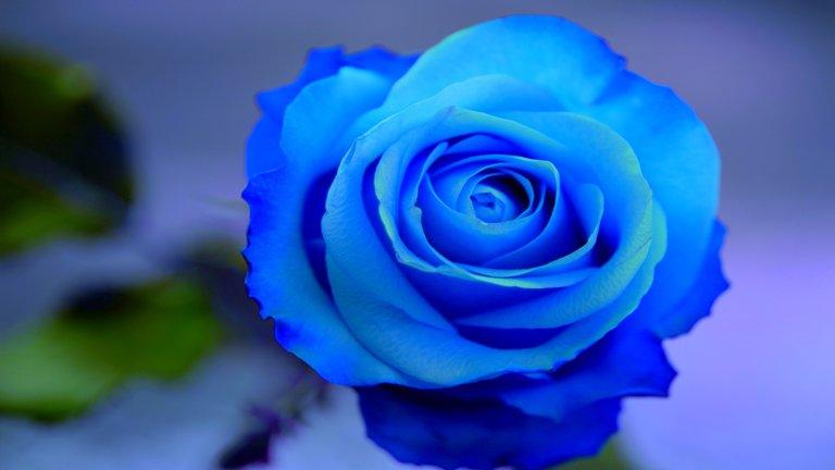 「青いバラ画像」の画像検索結果