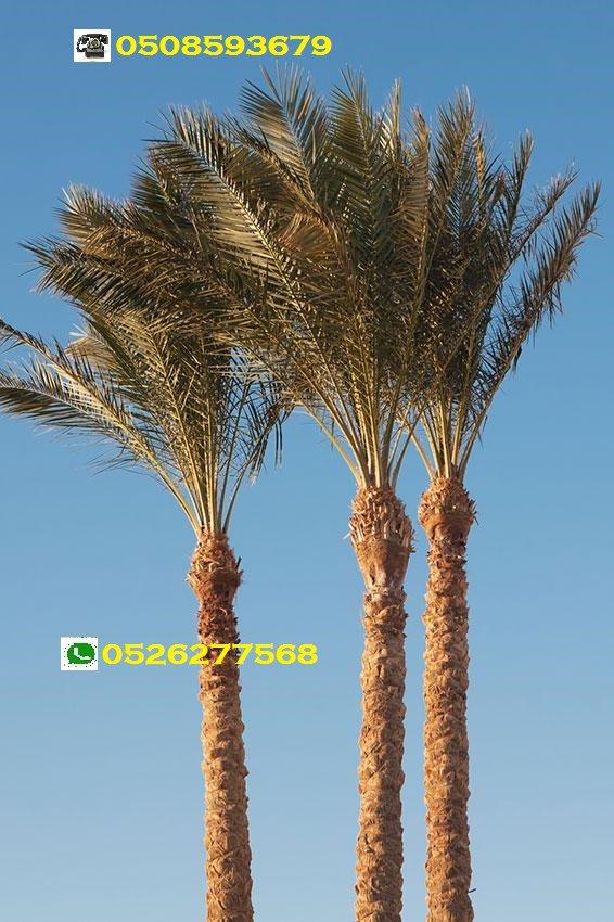 Date Palm Tree In Dubai Uae