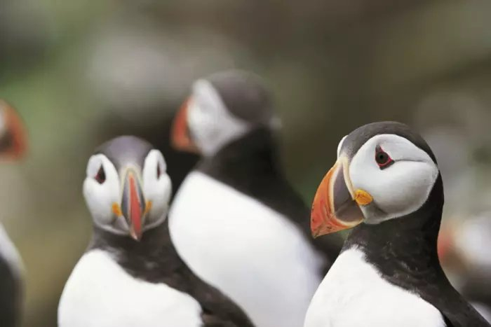 Scotland's puffins: less Mr Magoo, more Mr Miyagi, but how will they fare against new offshore winfdarms? scotsman.com/news/opinion/i…