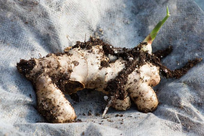 How to Grow Your Own Ginger and Garlic
