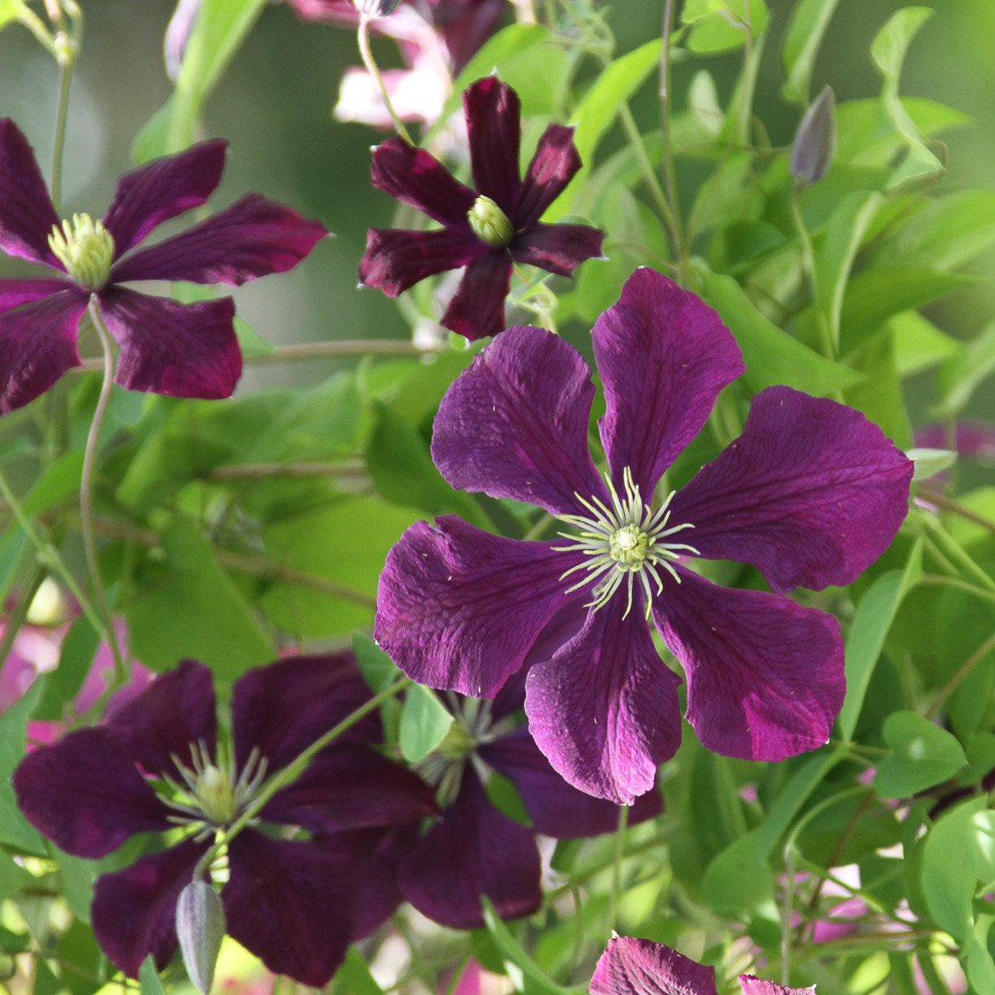Longfield Gardens On Twitter Clematis Jackmaniis Big Dark
