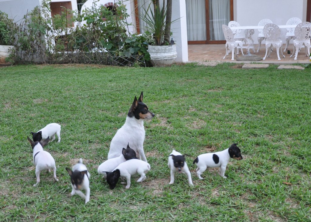 My BEAUTIFUL team - First ever registered Toy Fox Terriers in South Africa #SmallSizeLionHeart!