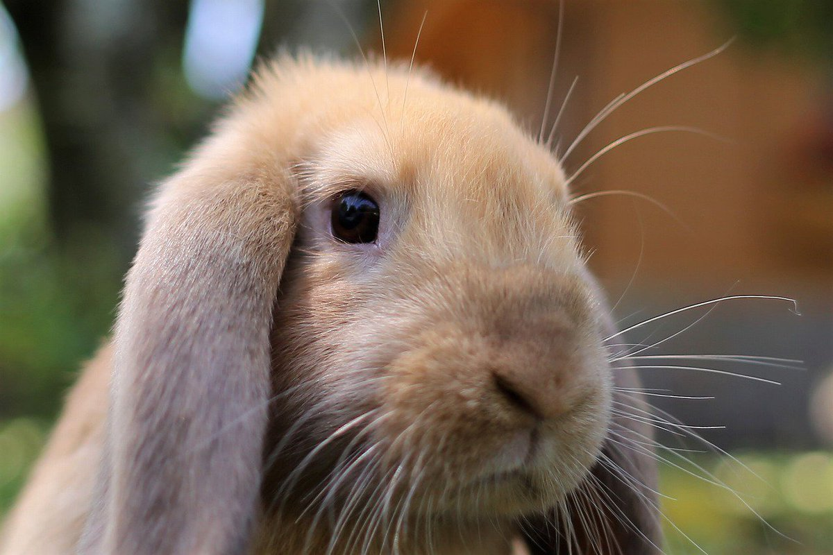 朝のウサギはモフモフしていた🐰 ぺっとんとしたタレ耳でもモフっている😆 #ウサギ #ロップイヤー #アフリカンサファリ #朝だけではない
