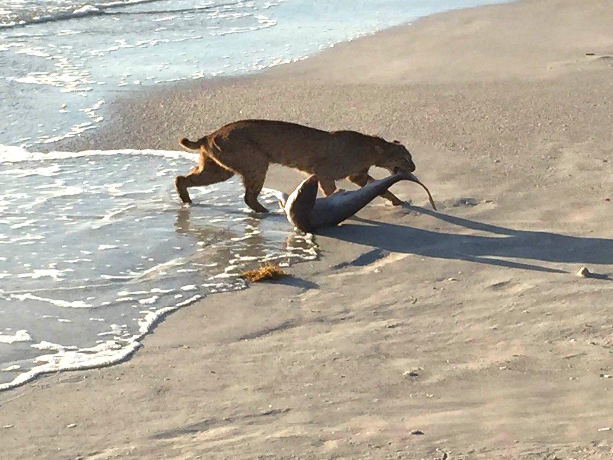 Remember when this bobcat caught a shark? Bobcats so rarely follow regulations. #NationalFishingandBoatingWeek https://t.co/KG8okEb69Q