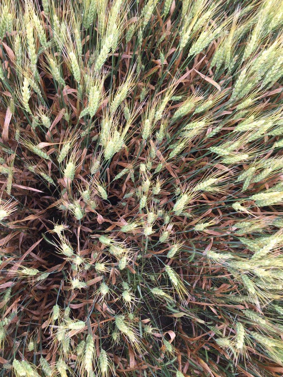 Kansas brown county everest - Foliar Fungicide Response Of Wheat Variety Everest Republic Co Ks Kansaswheat Intensive Wheat Management Project Kstateagronpic Twitter Com Jcvskq7amj