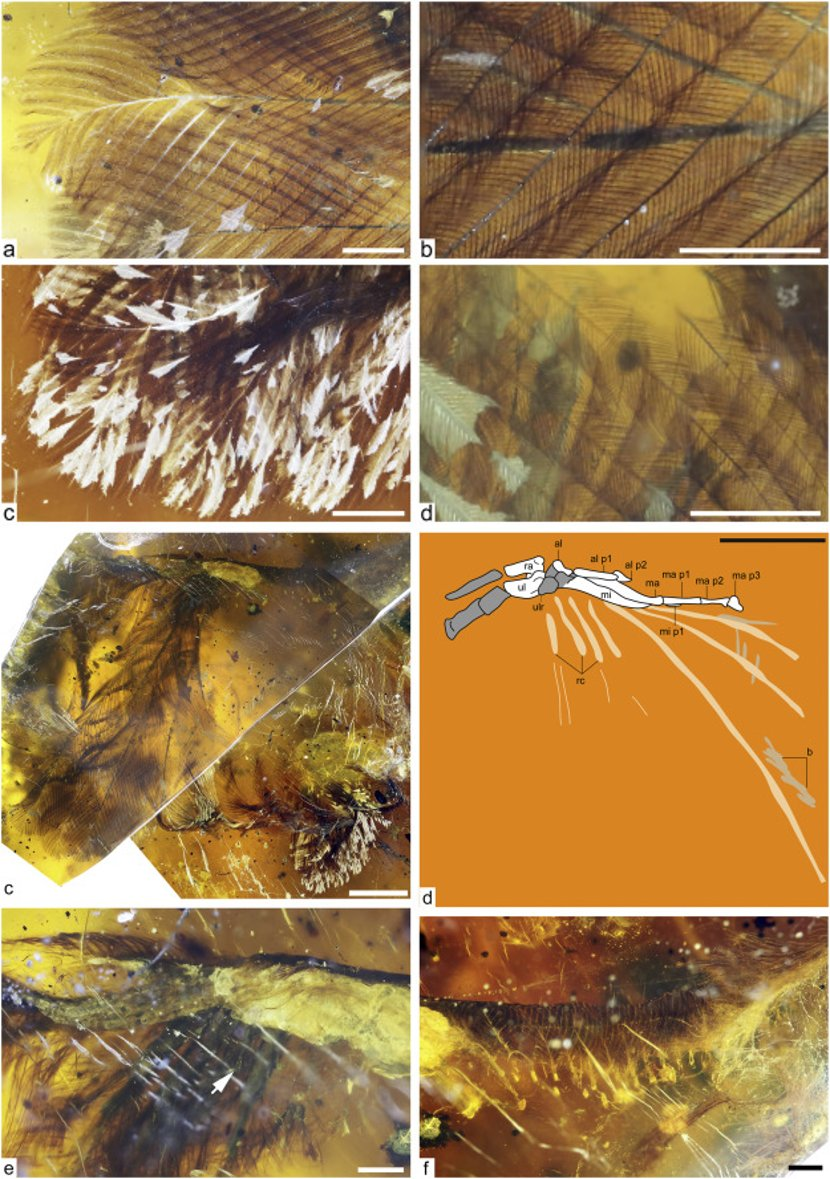 99-million-year-old bird fossil has been found preserved in amber and it's truly exquisite