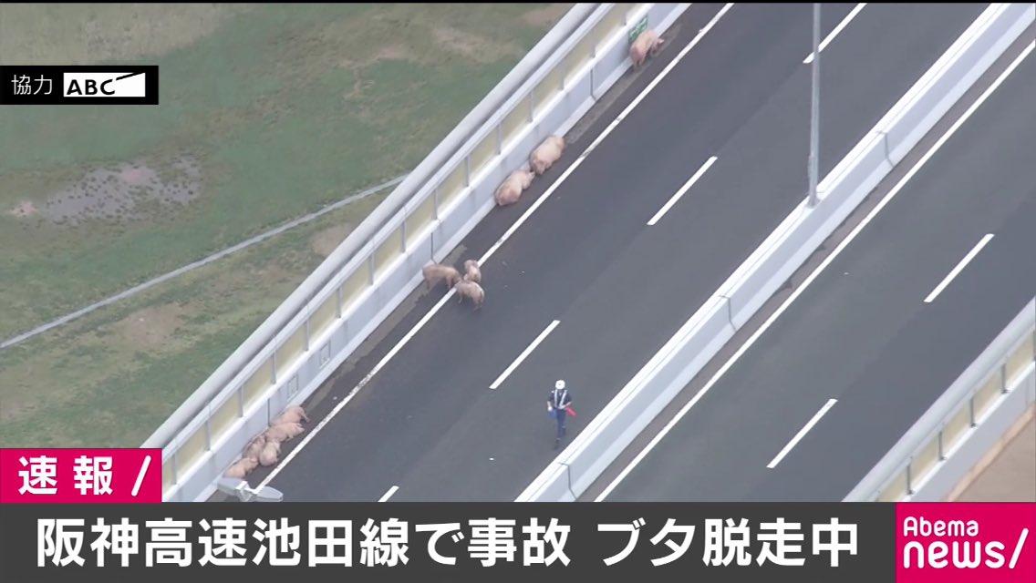 まさにトン走?事故で高速道路から逃げ出した豚たちwww