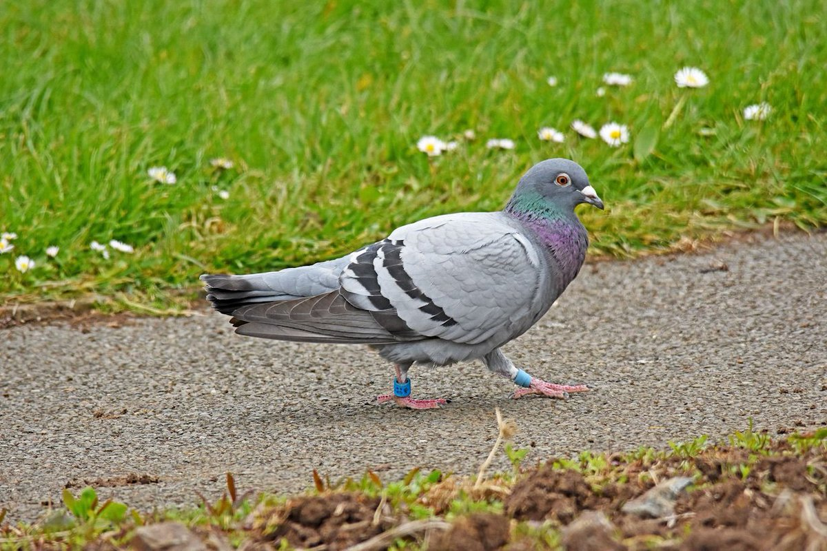 MT Mervyn Campbell @M_campbellphoto Wayward racing pigeon at Whitehead #County_Antrim #Northern_Ireland #May1st <br>http://pic.twitter.com/jZlW5u0b96