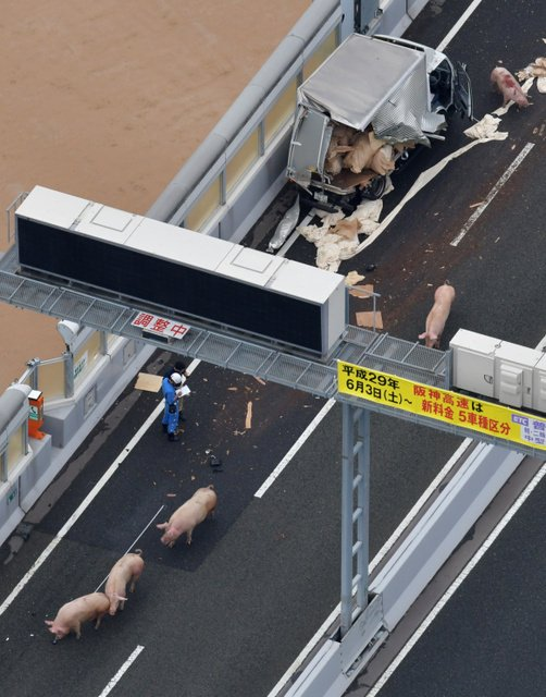 【ブタ逃走】トラック事故により、ブタが逃げ出した阪神高速道路。朝日新聞社ヘリから空撮しました。  ブタ19頭、トラック事故で逃げる 阪神高速が通行止め:朝日新聞デジタル https://t.co/Q5ExaMIfEX https://t.co/iOOampz2QT