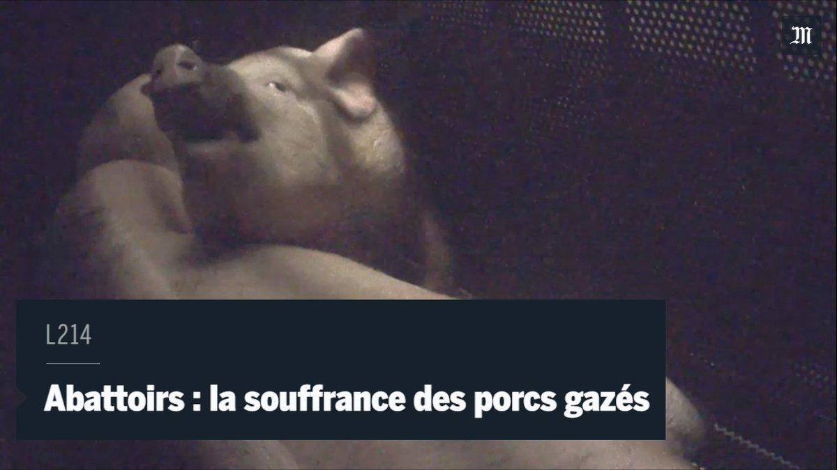 L'association @L214 dénonce la lente agonie de cochons gazés dans l'abattoir d'Houdan, dans les Yvelines, en 2016.
