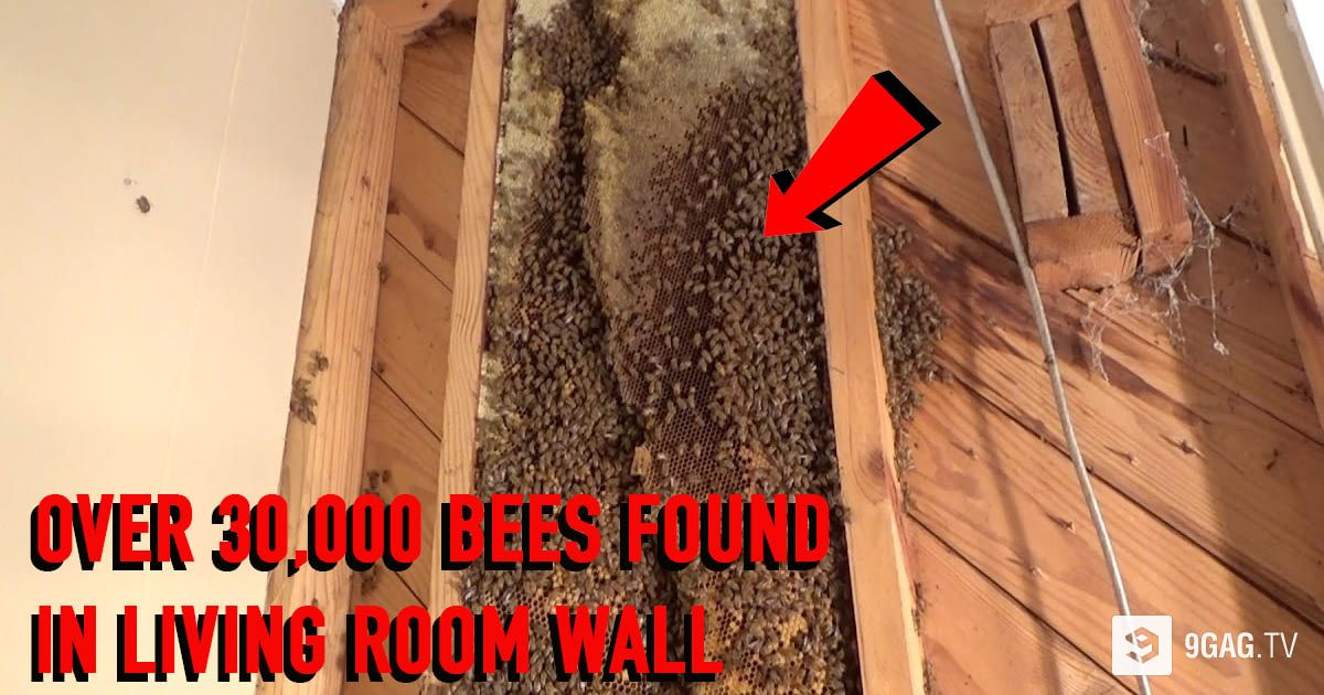 ... Living Room Wall Is Terrible AF! Http://9gag .com/tv/p/aObErX/gigantic Bee Hive With Over 30 000 Bees Found In Living  Room Wall?refu003dtw U2026pic.twitter.com/ ...