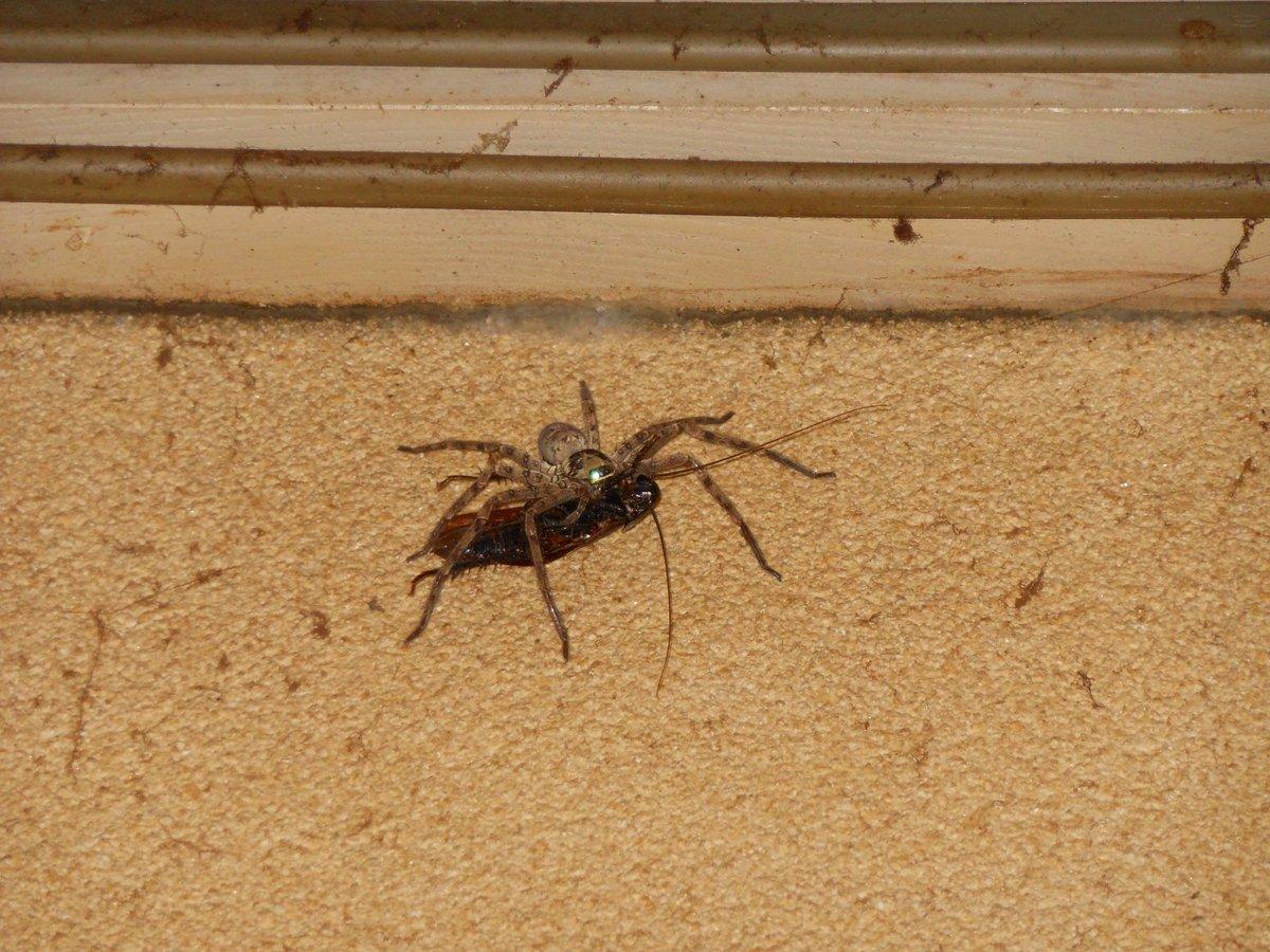 ゴキブリ を 食べる クモ