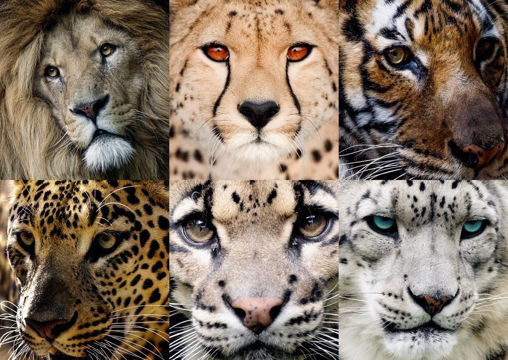 Hi babe, I really miss you soMaggie.Here&#39;s the Big Six Most Beautiful Big Cats: #LION #CHEETAH #TIGER #JAGUAR #PUMA #SNOWLEOPARD WECATS<br>http://pic.twitter.com/0IBrFTgd6o