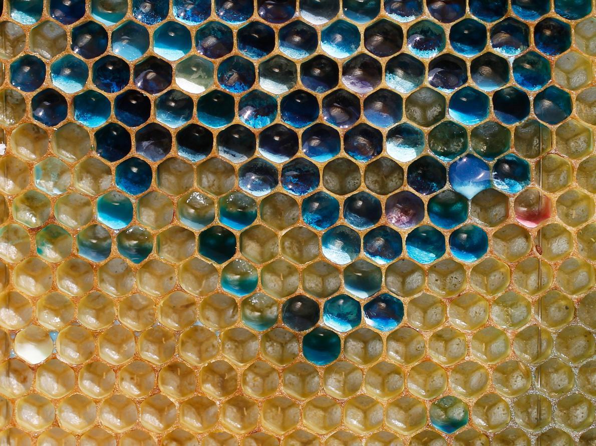 青や緑の蜂蜜!?ミツバチがお菓子の産廃工場から砂糖衣を持ち出した結果!
