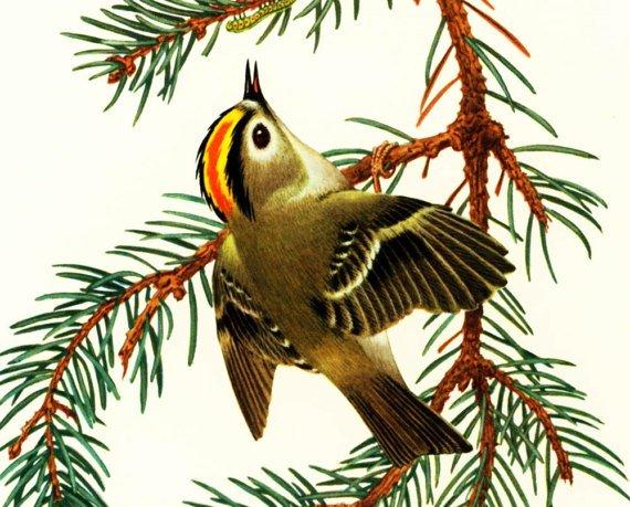 1969 Goldcrest, Regulus regulus, vintage Bird Print, #Ornithology, #Passerine, nature wall art  http:// jto.li/BwdjY  &nbsp;  <br>http://pic.twitter.com/eRFklr2Fjl