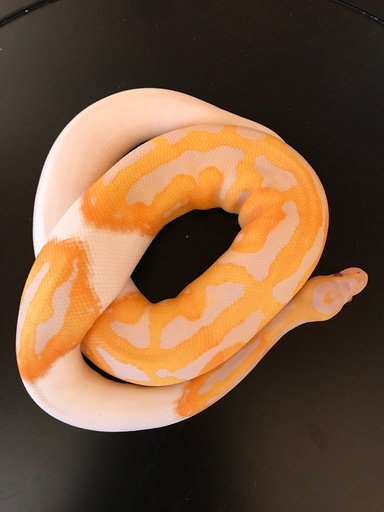 Son Of The Dreamsicle Project Male Ball Python by Bill Ensign, $13000 #snake #reptiles #herp #morph #reptile #pets  https://www. morphmarket.com/us/c/reptiles/ pythons/ball-pythons/74751?utm_source=twitter&amp;utm_medium=post&amp;utm_content=74751&amp;utm_campaign=twitter-featured-ad &nbsp; … <br>http://pic.twitter.com/2JeioQcCO3