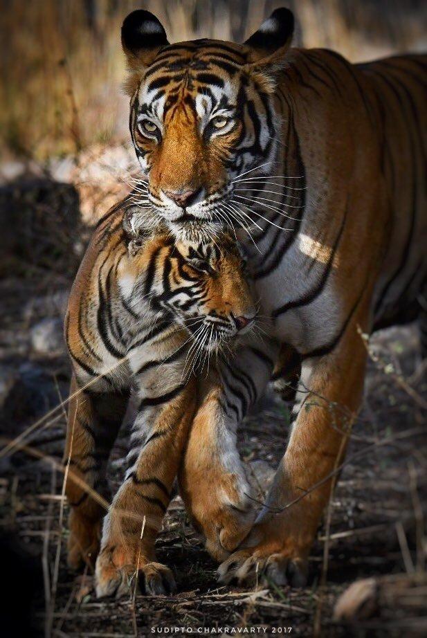 'Attachment and Attitude'. Ranthambhore Tiger Reserve, June 2017. Nikon D500, Tamron 150-600 G2.