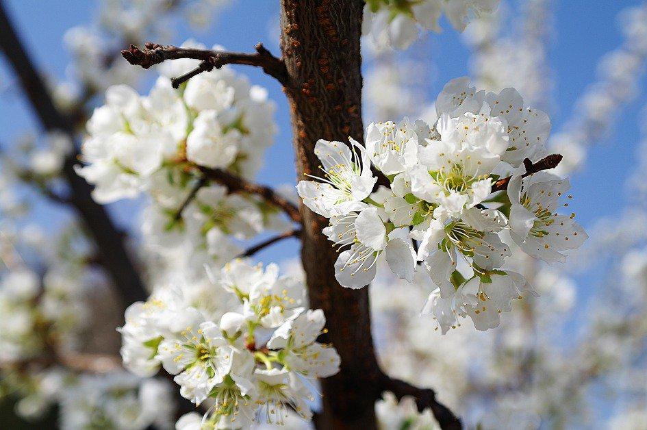 저 트윗을 보고 검색해봤더니 자두꽃과 벚꽃. 왼쪽이 자두. 오른쪽이 벚꽃 https://t.co/ON90lQeTDB
